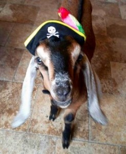 Captain Jack, the blind goat